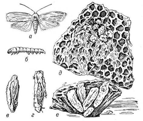настоянка личинок воскової молі, екстракт воскової молі