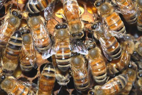 Спиртова настоянка бджолиного підмору